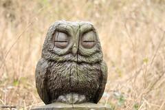 wood owl J78A2296 (M0JRA) Tags: fairburnings rspb owls birds flight flying wildlife rats walks gardens parks fields trees lakes ponds ducks swans