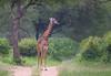 Giraffe (ashockenberry) Tags: tanzania travel tourism tarangire tall tree safari savanna spotted africa ashleyhockenberryphotography african animal wildlife wildlifephotography wild wilderness grassland graze herbivore habitat landscape beautiful mammal majestic game reserve giraffe