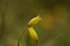 Два цветка / Two flowers (Владимир-61) Tags: природа весна апрель цветы flower april spring nature sony ilca68 minota 100400 apo