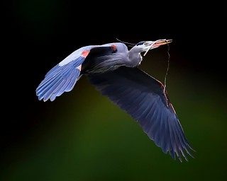 Great Blue Heron carrying nesting material - Click to view large - EXPLORE ©