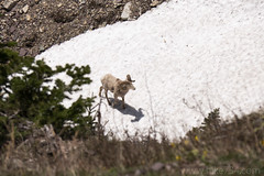 "Bighorn Sheep • <a style=""font-size:0.8em;"" href=""http://www.flickr.com/photos/63501323@N07/41516955495/"" target=""_blank"">View on Flickr</a>"