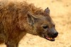 hyena (SusanKurilla) Tags: wildlife africa kenya tanzania wild safari adventure hyena