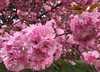 Kwanzan Cherry blossoms (karma (Karen)) Tags: baltimore maryland neighborhood trees kwanzancherry blossoms dof bokeh hbw topf25 iphone cmwd
