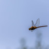 2018-05-26--zones humides0135.jpg (heiserge) Tags: pontàmousson france macro zoneshumides nature dragonfly libellule insectes printemps wetlands europe lorraine meurtheetmoselle macrophotographie animal animaux