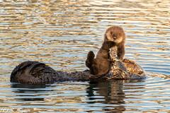 Sea Otter Pup & Mum (Ronda Hamm) Tags: california mammal otter wildlife mother pup nature baby morrobay young seaotter canon 100400mkii 7dii animal