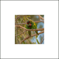 I Was Made For Loving You DSC_0160 (BlueberryAsh) Tags: latropeuniversity musklorikeet parrot birds nativebird australianbird glossopsitta concinna glossopsittaconcinna nikond500 tamron150600