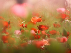 Dreamy red (Tomo M) Tags: rojo red rouge 赤 flower poppy nature light bokeh field dof lifeisarainbow petal 昭和記念公園 シャーレーポピー blur
