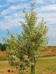 olivier en floraison (danie _m_) Tags: naturepic olivetree flowering lovenature beautiful trees countryside springtime landscape nature olivier arbre campagne paysage printemps