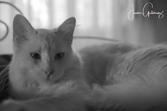 Copito (gjaviergutierrezb) Tags: cats flickrcats white blackandwhite blancoynegro