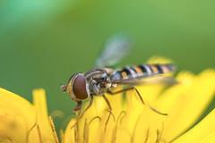 Syrphidae 1:1 (@pabloralonso) Tags: vivitar90macro macro macrofotografia vivitar90mm28macro pentax bugs insectos asturias