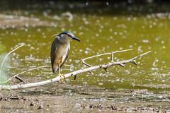 Bihoreau gris (Nycticorax nycticorax - Black-crowned Night Heron) (Philippe Renauld) Tags: grépiac occitanie france fr bihoreau gris nycticorax blackcrowned night heron