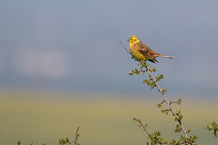 Yellowhammer (Emberiza citrinella) (Mibby23) Tags: yellowhammer emberiza citrinella bird wildlife nature pitstone hill canon 70d sigma 150600mm contemporary