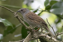 "dunnock2 • <a style=""font-size:0.8em;"" href=""http://www.flickr.com/photos/157241634@N04/41626569751/"" target=""_blank"">View on Flickr</a>"