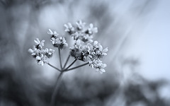 Unknown Umbellifer Plant (Anne Worner) Tags: allnatural anneworner apiaceae em5 helios442 olympus silverefex umbelliferae addedgrain bloom blossom closeup closeupfilters24stacked cluster cyanotype f18 fauna flower goingtoseed grain macro manualfocus manualfocuslens monochrome nature parsleyfamily petals plant seeding selectivefocus shallowdof silvertoning supermacro tiny umbellifer white