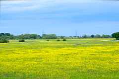 Clifton Ings Buttercups (Ravensthorpe) Tags: york plants flowers buttercups