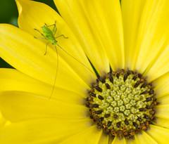 The launchpad (grbush) Tags: allnatural macromonday macromondays nature osteospermum flora floraandfauna closeup grasshopper insect yellow petal flower sonyilce7 tamronaf90f28disp wildlife