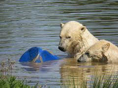 IMG_0079 (duncansmith50) Tags: yorkshirewildlifepark lions polar bears black rhino tigers giraffes doncaster