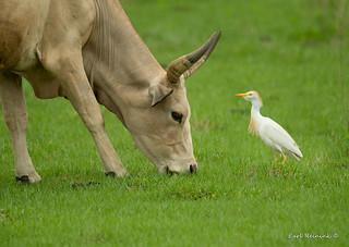 Cattle Egret - Duhh..