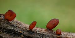Hymenoscyphus spec. (Crazy Mushroom) Tags: hymenoscyphusspec teufelskrückstock oberburg bern schweiz stängelbecherling switzerland araliaspinosa pilz mushroom fungi fungus champginon nature wald forest makro macro panasoniclumixdmcg81 dmcg81 g81 g80 g85 dff dof stacking focusbracketing winzig tiny klein stängel becherling devilswalkingstick heliconfocus raynox