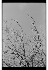 P62-2018-004 (lianefinch) Tags: argentique argentic analogique analog monochrome blackandwhite blackwhite bw bx noirblanc noiretblanc nb fleurs flowers prunier tree nature