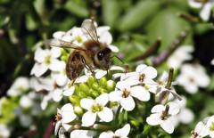 Honey bee on watercress (TJ Gehling) Tags: insect hymenoptera bee apidae honeybee apis plant flower brassicales brassicaceae watercress nasturtium nasturtiumofficinale cerritocreek elcerritoplaza ohlonegreenway elcerrito