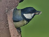 Thank-you (johnb/Derbys/UK) Tags: tits nature nice pov thankyou derbyshireuk greattit bird feeding