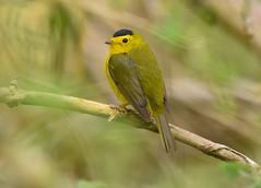 Wilsons Warbler (aj4095) Tags: wilsons warbler bird birding ontario spring outdoor nature wildlife canada songbird