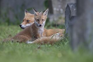 Fox Cub and Mum