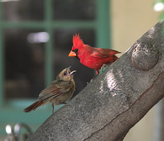 Feed me, Dad! (Distraction Limited) Tags: cardinaliscardinalis northerncardinal commoncardinal cardinals cardinalis birds shadegarden tucsonbotanicalgardens tucsonbotanical botanicalgardens gardens tucson arizona tbg20180516