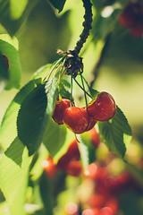 Sweet cherries (Inka56) Tags: swetcherries cherries tree branch fruit 7dwf flora