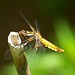 Libellula depressa (Greet N.) Tags: lubelluladepressa flatbelly dragonfly animal insect outdoor macro