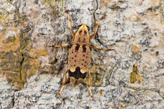 Habrissus sp. (NakaRB) Tags: malaysia borneo sarawak permairainforestresort 2017 insecta coleoptera anthribidae habrissus
