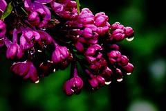 Purple Lilac After Rain (Joseph Hollick) Tags: flower lilac flowers purple macromondays allnatural macro