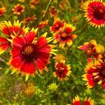 Lady Bird Johnson Wildflower Center 11 thumbnail