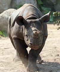 Black Rhino Mara Blijdorp BB2A9481 (j.a.kok) Tags: rhino rhinoceros blackrhinoceros blackrhino babyneushoorn neushoorn mara animal africa afrika zwarteneushoorn blijdorp mammal zoogdier dier herbivore