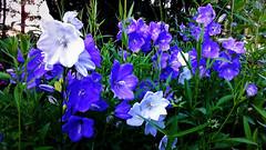 Lila-fehér virágoskert (Ják) (milankalman) Tags: purple white spring summer nature