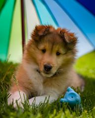 Puppy Portrait (_Matt_T_) Tags: smcpda55mmf14sdm bokeh whiskers shetlandsheepdog sheltie dog nose umbrella toy pup