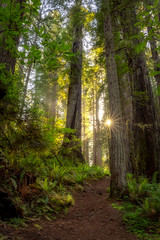 For my Father (optimalfocusphotography) Tags: northerncalifornia california usa landscape trees nature nationalpark spring sun sunburst redwoodnationalpark humboldtcounty path redwoods