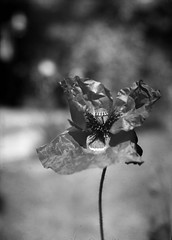 poppy flower (salparadise666) Tags: kw patent etui 9x12 tessar 135mm proxar 2 attachment lens fomapan 200160 caffenol cl semistand 35min nils volkmer vintage large format view folding analogue film camera flower poppy black white monochrome vertical dof bokeh hannover withered