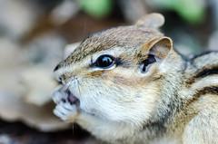 Yum yum (Sean X. Liu) Tags: chipmunk highpark toronto ontario nature macro closeup animal macromademoiselle bokeh