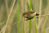 REED WARBLER (_jypictures) Tags: animalphotography animals animal canon canon7d canonphotography wildlife wildlifephotography wiltshire nature naturephotography photography pictures birdphotography bird birds birdwatching birding birdingphotography birders reedwarbler warbler ukwildlife ukbirding ukbirds