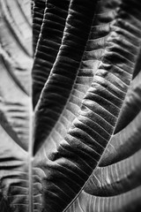 My Darker Side (belleshaw) Tags: blackandwhite sandiegobotanicgarden nature leaf folds wrinkles texture veins plant garden detail abstract shapes bokeh