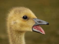 Sleepy gosling (PhotoLoonie) Tags: goose gosling canadagoose waterfowl waterbird bird nature wildlife spring