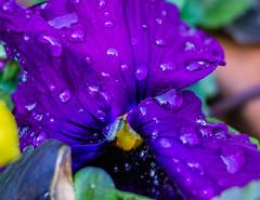 Proudly Purple (risaclics) Tags: smileonsaturday preciouspurple 7dwf macromademoiselle