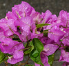 ... plus one large water 'droplet' (idunbarreid) Tags: waterdroplets bougainvillea