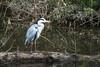 Grey Heron (Eskling) Tags: grey heron ardea cinerea birds lagan towpath canal trunk