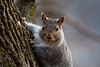 Sweet little face (perfectday_s) Tags: écureuil squirrel canada rodent fur rongeur fourrure