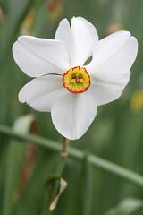 Daffodil 1 (sherri_lynn) Tags: daffodil gibbsgardens flowers garden nature northgeorgia