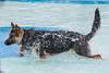 Senna (feefoxfotos) Tags: dogs exercise water swimmingpool swim fetch wet