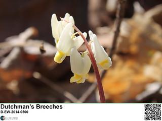 Dutchman's Breeches